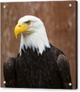 Mature Adult Bald Eagle Acrylic Print
