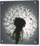 Mature Dandelion Blocking the Sun 2 Acrylic Print