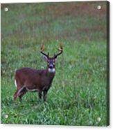 Mature Whitetail Buck Acrylic Print