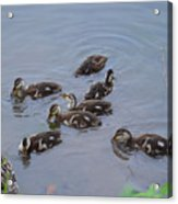 Maturing Ducklings Acrylic Print