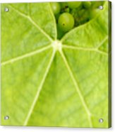 Maturing Wine Grapes Acrylic Print by Gaspar Avila