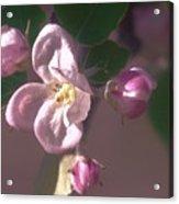 Mauve Blossom Acrylic Print