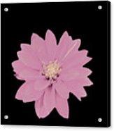 Mauve Flower Acrylic Print