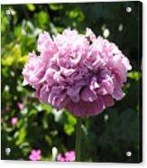Mauve Peony Poppy Acrylic Print