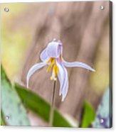 Mauve Trout Lily Acrylic Print