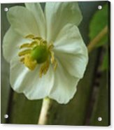 May Apple Blossom Acrylic Print