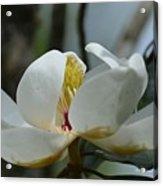 May Magnolia 2 Acrylic Print