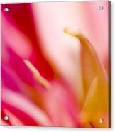 May Pink Acrylic Print