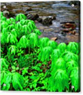 Mayapples And Middle Fork Of Williams River Acrylic Print