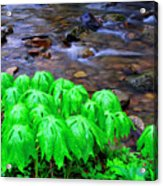 Mayapples And Middle Fork  Acrylic Print