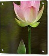 Pink Lotus And A Bud Acrylic Print