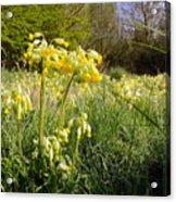 Meadow Cowslip Acrylic Print