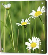 Meadow Detail White Wild Flowers Acrylic Print