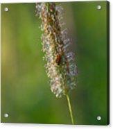 Meadow Foxtail Acrylic Print