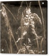Meadow Grass In Sepia Acrylic Print