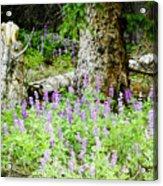 Meadow Lupine Acrylic Print