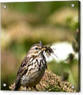 Meadow Pipit With Food Acrylic Print