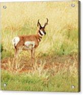 Meadow Pronghorn Acrylic Print