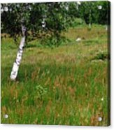 Meadow With Birch Trees Acrylic Print