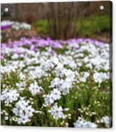 Meadow With Flowers At Botanic Garden In The Blue Mountains Acrylic Print