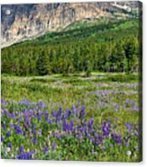 Meadow With Lupines Acrylic Print by Merilee Phillips