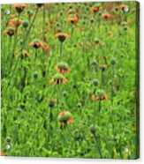 Meadow With Orange Wildflowers Acrylic Print