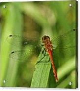 Meadowhawk Dragonfly Acrylic Print