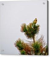 Meadowlark - 1 Acrylic Print