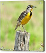 Meadowlark 7 Acrylic Print