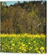Golden Hay  Acrylic Print