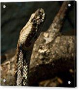 Mean Poisonous Snake Acrylic Print