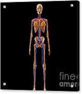Medical Illustration Of Female Skeleton Acrylic Print