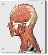 Medical Illustration Showing Human Head Acrylic Print