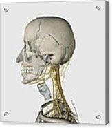 Medical Illustration Showing Thyroid Acrylic Print