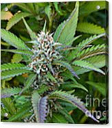 Medicinal Marijuana Growing Acrylic Print