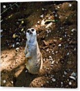 Meerkat     Say What Acrylic Print