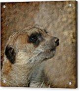Meerkat 3 Acrylic Print by Ernie Echols