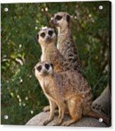 Meerkat Hill Acrylic Print