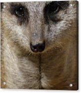 Meerkat Looking At You Acrylic Print