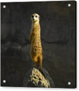 Meerkat On The Watch Acrylic Print