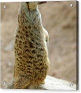 Meerkat Portrait Acrylic Print