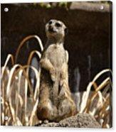 Meerkat Poser Acrylic Print
