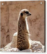 Meerkat Standing On Rock And Watching Acrylic Print