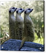 Meerkats On The Lookout Acrylic Print