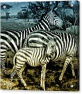 Meet The Zebras Acrylic Print
