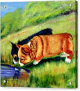Meeting Mr. Frog Corgi Pups Acrylic Print by Lyn Cook