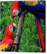 Meeting Of The Macaws  Acrylic Print