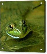 Mellow Frog Acrylic Print