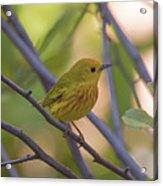 Mellow Yellow - American Warbler - Setophaga Petechia Acrylic Print