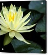 Mellow Yellow Water Lily Acrylic Print